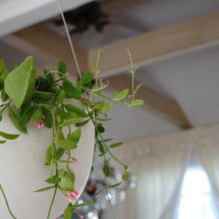 肉厚の丸みのある袋状をした葉が印象的なディスキディア
