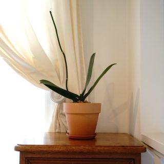 素焼の鉢に胡蝶蘭植え替え